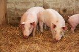 Vers-varkensvlees-(onverpakt)